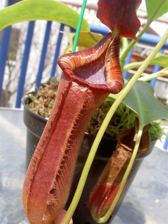 Nepenthes lowii... Nepenthes Lowii